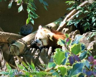 Red Panda Photo, Original Photography, Photo Print, Panda Art, Wall Art