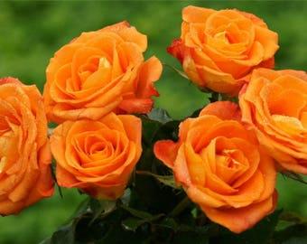 Pair of Standard ORANGE Flowering Patio Rose Trees
