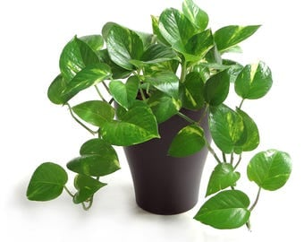 3x cuttings Golden Pothos Ivy! EASY to GROW! Tropical vining plant! FAST Growing! Variegated cream white & green leaves on thick vines!