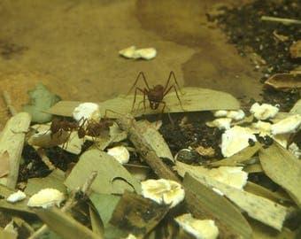 Leaf Cutter Ants Canvas Print
