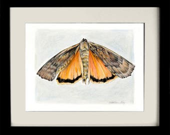 Moth IV, fine art print, giclee, archival, nature, insects, natural history, gifts for men, Yellow Underwing moth