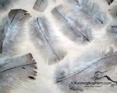 """Real Blue Slate Turkey Feathers Farm House Decor Natural Feathers Cruelty Free Feathers Real Bird Feathers For Crafts 20 @ 4 - 4.5"""" / BS9"""