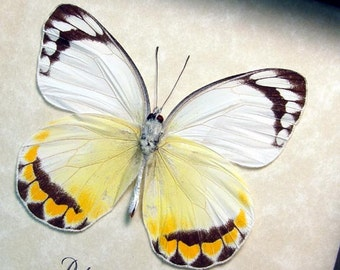Real Framed Rare Delias Candida Verso Orange and White Butterfly 8405