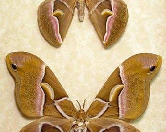 Real Framed Samia Cynthia North American Silk Moth Pair 1035P
