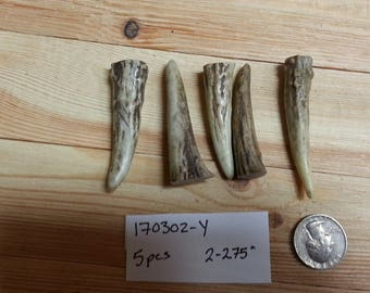 Gnarly Deer Antler Points Tips- 2-2.75 inches- 5 pcs- Lot No. 170302-Y
