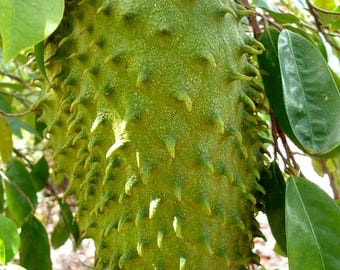 Soursop  Guanabana Paw Paw, Tropical fruit tree 25 seeds may 2017