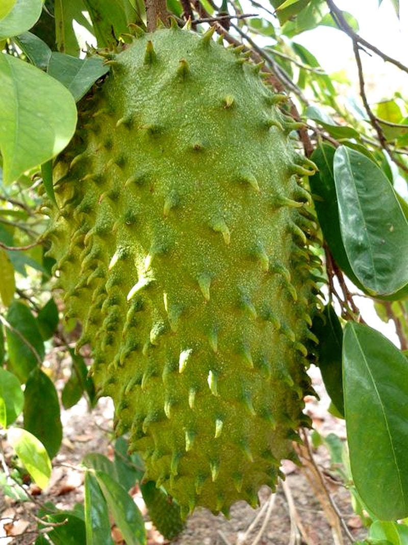Soursop Guanabana Paw Paw, Tropical fruit tree 25 seeds ...