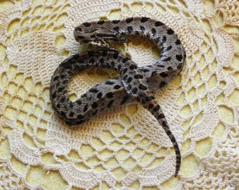Cruelty Free Pygmy Rattlesnake Rattler -- Freeze Dried