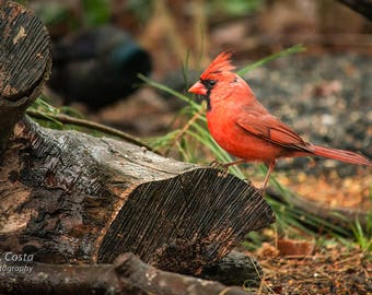 Northern Cardinal Photography Print, Avian photography, Rustic Wild Bird Photography, vivid red wall decor
