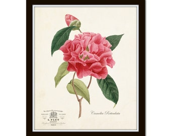French Camellia Botanical Print, Giclee, Art Print, Antique Botanical, Flower Print, Vintage Botanical, Wall Art, Collage, Cottage Decor