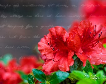 Azalea with Writing -  Nature, landscape, red, fine art, azalea bush, floral, art, garden, rustic, home decor, wall art, North Carolina