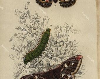 Moths  Original antique vintage Color lithograph print decorative art home decor arts and Crafts dates 1890's