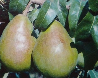 4'-5' BEURRE D'ANJOU PEAR Fruit Tree Plant Big Healthy Trees Nice Juicy Sweet Pears Lawn Garden Orchard Gardens Landscaping Home New Now
