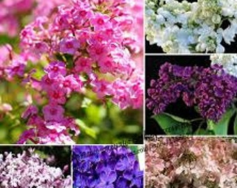 TSL) MIXED LILAC~Seeds!!!~~~~~Varieties Galore!