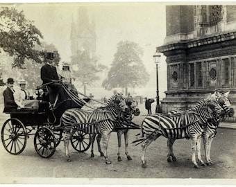 Carriage with Zebras - Buckingham Palace Journey 1898 :Old Antique Vintage Photograph Photo Art Print