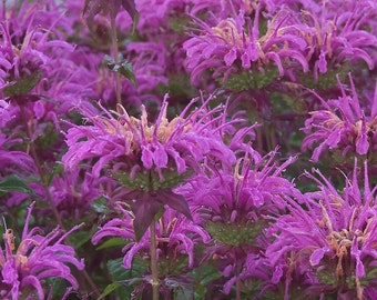 Wild Bergamot .... 30 Seeds