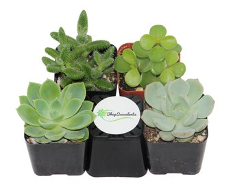 Shop Succulents Green Succulent Collection