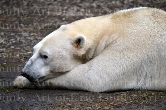 Polar Bear Animal Safari Birthday - Edible Cake and Cupcake Topper For Birthday's and Parties! - D22379