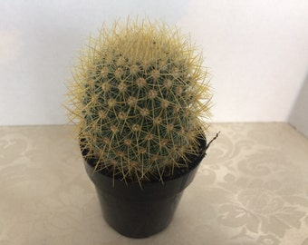 Small Cactus Plant. Mammillaria Pringlei. An interesting and very beautifully cactus.