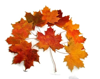 Dried red maple leaves of large size, Fall leaves, Pressed autumn leaves,Material for crafts, herbarium, projects.