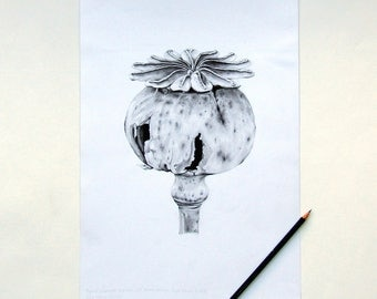 ORIGINAL pencil drawing of opium poppy seed head made by artist, botanical art, nature, gardening real genuine unique graphite artwork
