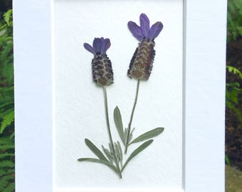 FREE SHIP  Real Pressed Flower Art Botanical Herbarium of Spanish Lavender 5x7