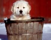 Golden Retriever Puppy Photo Print Golden Retriever Photo Print ~ Golden Retriever Puppy Photography ~ Golden Retriever Photography Dog Art