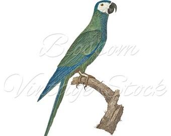 Parrot Vintage Prints, Instant Download Prints, Digital Image, Antique Illustration for print, Digital artwork  INSTANT DOWNLOAD - 1834