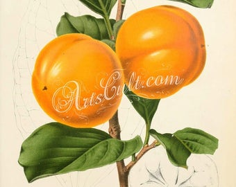 fruits-02275 - diospyros kaki costata, Japanese Persimmon Persimon yellow succulent on branch with leaves vintage image illustration best