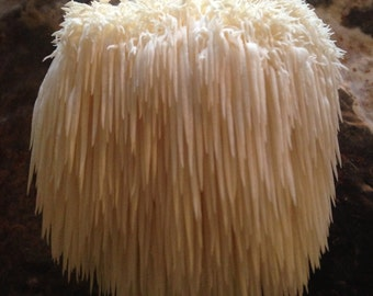 Lions Mane/ Bear's head Mushroom Grow Kit