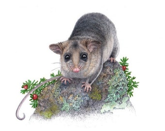 Mountain Pygmy Possum - Endangered species. A4 Print.
