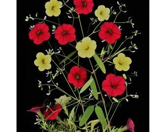 Flower photo, petunia photo, wall art, flower photography, home decor, red, yellow, nature photo, home decor, floral art print, petunias