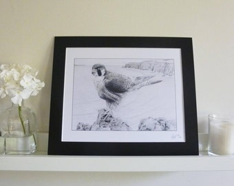 Peregrine Falcon Limited Edition Pencil Drawing Art Print