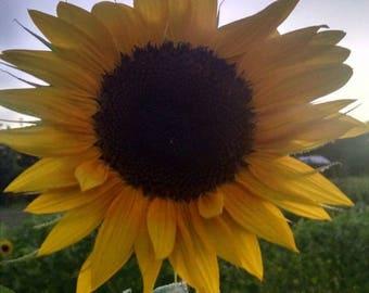 Organic Seed Bomb - 3PK - Sunflower Seed Bombs - Wildflower Seed Bombs - Annual Seed Bomb - Save the Bees - Gardening Gift- Seed Bomb Gift