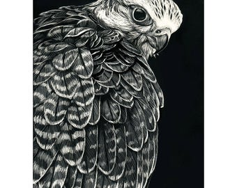 Peek - ORIGINAL Scratchboard Gyrfalcon Drawing - Wildlife Falcon Raptor Art