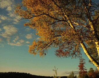 Tree Photography - Nature Photography - New York - Adirondacks - ADK - Nature Art - Cottage Decor - Wall Art - Blue Yellow - Sunset Print