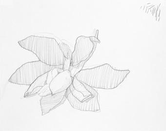 pencil drawing original / magnolia flower drawing / pencil drawing / pencil drawing flower