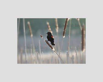 Red Winged Black Bird on Bull Rush in Soft Marsh Landscape Fine Art Archival Wrapped Canvas Wall Art, Bird Wall Art