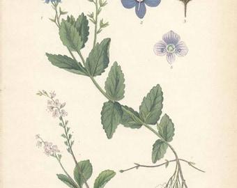 GERMANDER SPEEDWELL - 1905 Botanical Book Plate  114 Bilder ur Nordens Flora