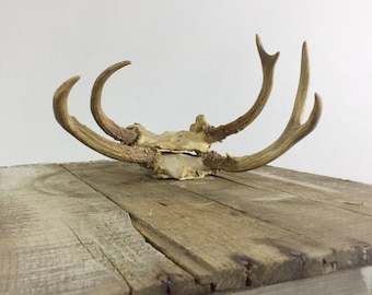 Deer Antlers Farmhouse Wall Hanging Partial Skull Mount Pair Antlers Vintage Mid Century Rustic Decor Oddities Taxidermy Horns Bone Antler
