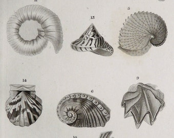1850 Antique print of SEASHELLS. Sea Shells. Seashell. Molluscs. Mollusks. Sea Snails. Shells. Conchs. Sea Life. 167 years old engraving.