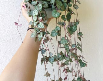 "Hanging Planters STRING OF HEARTS Plant 6"" Super Long Pot Rare Ceropegia Woodii Hanging Basket Plant Indoor Trailing Vine Succulent Favor"