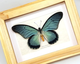 FREE SHIPPING Real Framed Papilio Zalmoxis Giant Blue Swallowtail Butterfly Taxidermy High Quality A1-