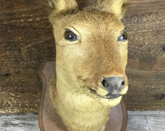 Head of a young female Roe Deer mounted on wooden plaque. Taxidermy.  RDF02