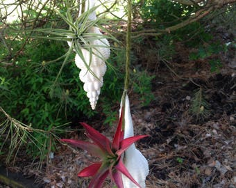 """Hanging """"White Shell"""" Air Plant"""