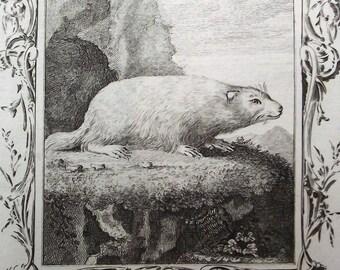 1792 - marmota BOBAK - Original antiguo grabado. Imprimir. Buffon. Color de la mano. Historia natural. Zoología. Más de 220 años de edad.