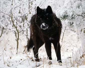 """Black wolf in snow photography 8"""" X 10"""" PRINT GORGEOUS MIDKNIGHT"""