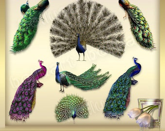 7 Peacock clip art vol. 1, antique peacock illustrations, clipart peacock feather, peacock graphics - instant download - png files