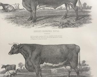 1875 Agriculture Original Antique Steel Engraving Print - Farming - Livestock - Cow Breeds - wall decor - home decor
