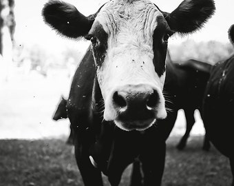 Lone Cow - Farm Animal - Barn Photograph - Fine Art Print - Wall Decor - Cute
